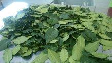 Folhas de erva mate para seleção final