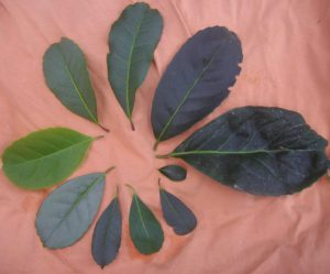 Meta Mate Leaves