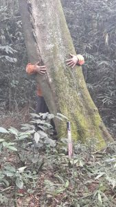Yerba mate tree, Ilex Paraguarencis